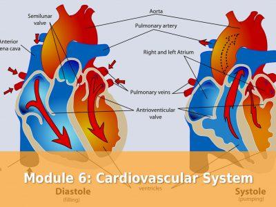 Module 6: Cardiovascular System